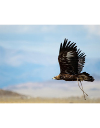Greeting Card Golden Eagle
